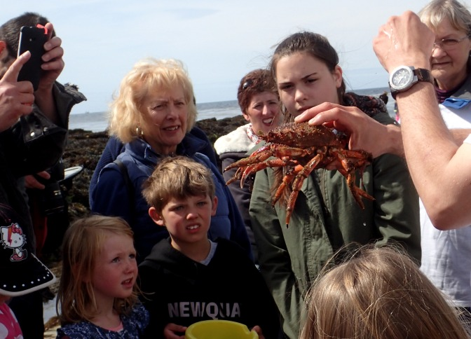 Cornish Rock Pools - spider crab at Looe rockpool ramble