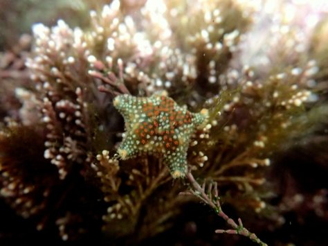 A slightly larger, more brightly coloured Asterina phylactica starfish.