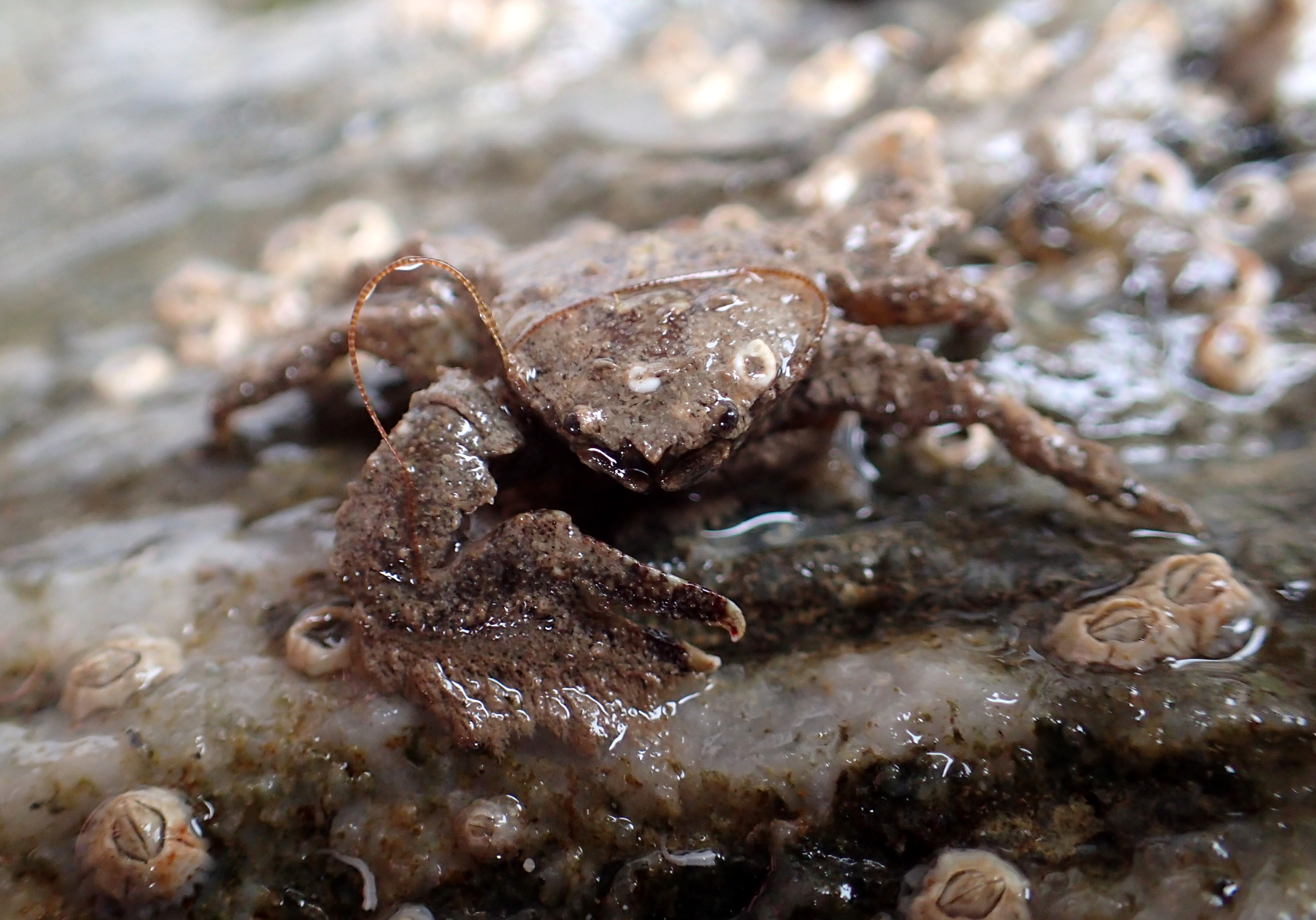 Pleased to meet you! A broad-clawed porcelain crab extends a claw. Cornish Rock Pools