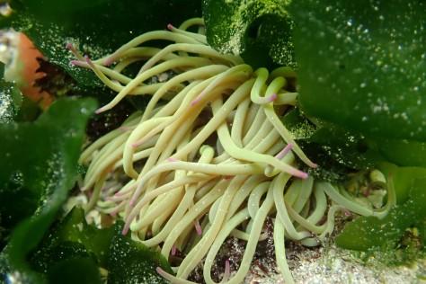 A snakelocks anemone among the sea lettuce.