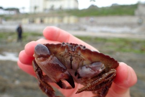 My new camera handles a classic crab shot on the first attempt. Edible crab at Castle Beach, Falmouth.