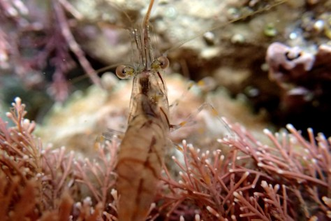 A common prawn swims over to say 'hello' to my new camera.