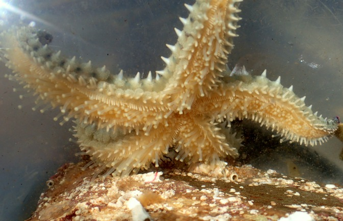Spiny starfish glide on hundreds of tentacle feet