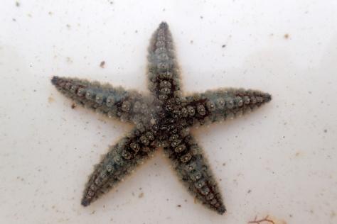 Juvenile spiny starfish