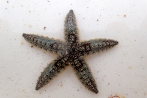 Juvenile spiny starfish