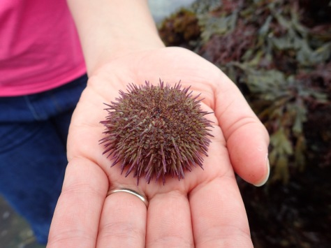 A green shore urchin - smaller and flatter than the edible urchins seen offshore by divers. They have purple-tipped spines.