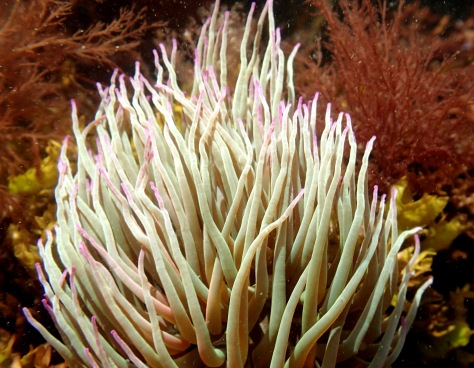 This snakelocks anemone looks like it's had a fright - the tentacles were being picked up by the current