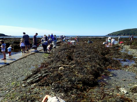 Looe Marine Conservation Group rockpool ramble - Cornish Rock Pools
