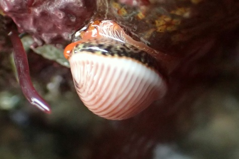 Three spot cowrie (trivia monacha) showing its lovely colours