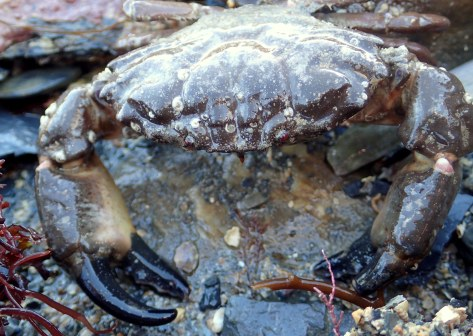 Xantho incises crab - this one hasn't shed its shell for a while and has spirorbis worms growing on it.