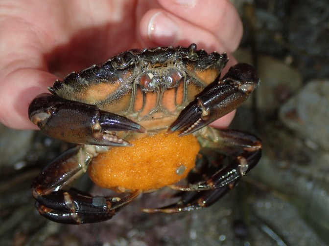Green shore crab with a clutch of yellow eggs in a Cornish rock pool.