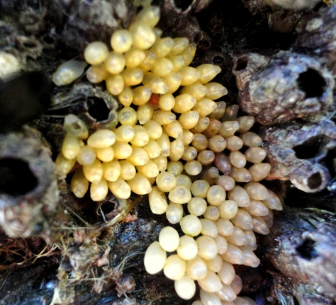 Dog whelk eggs at Mawgan Porth