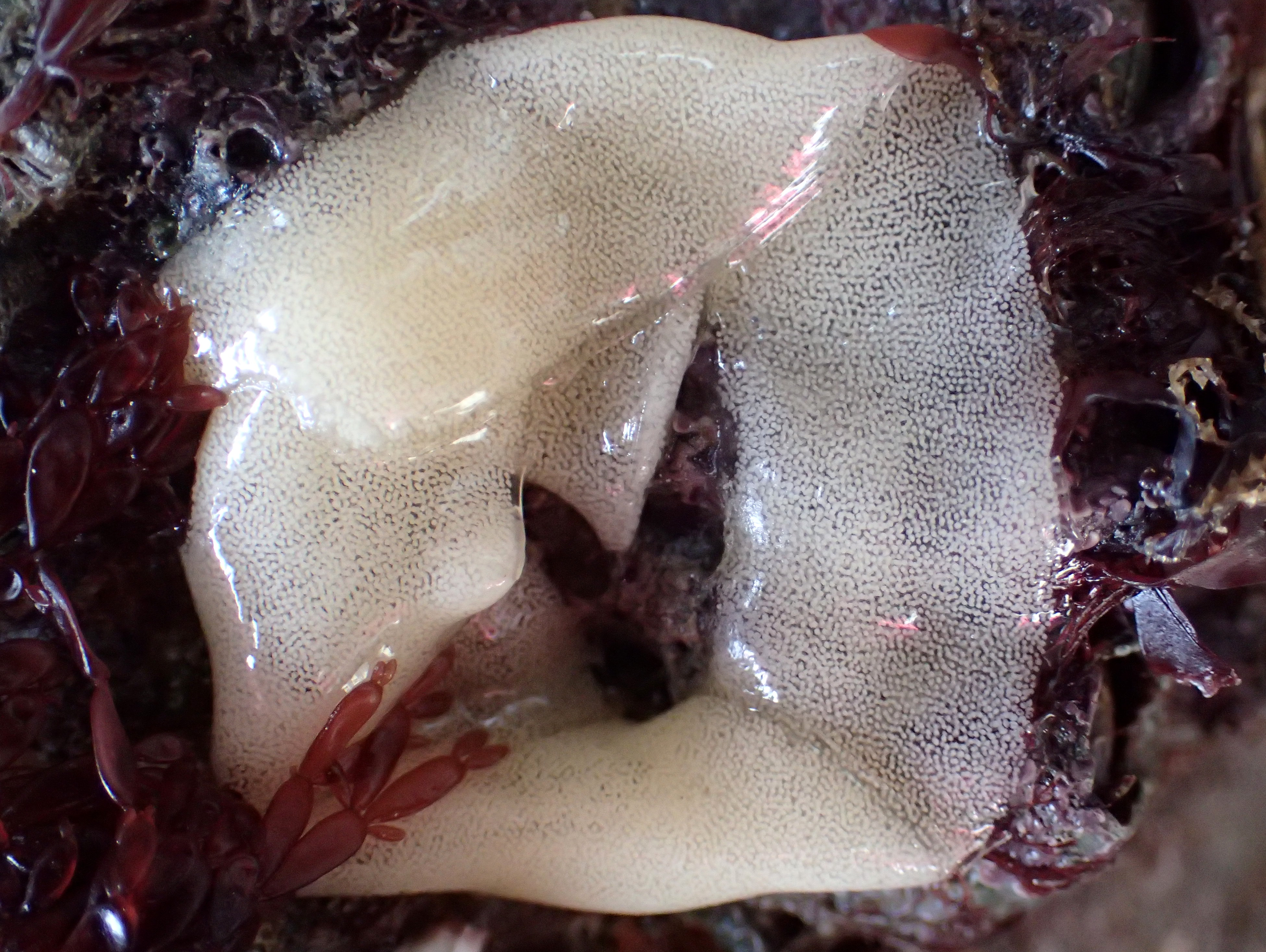 Go slowly and look closely - this little ring of jelly contains thousands of eggs from a sea lemon (a type of slug).