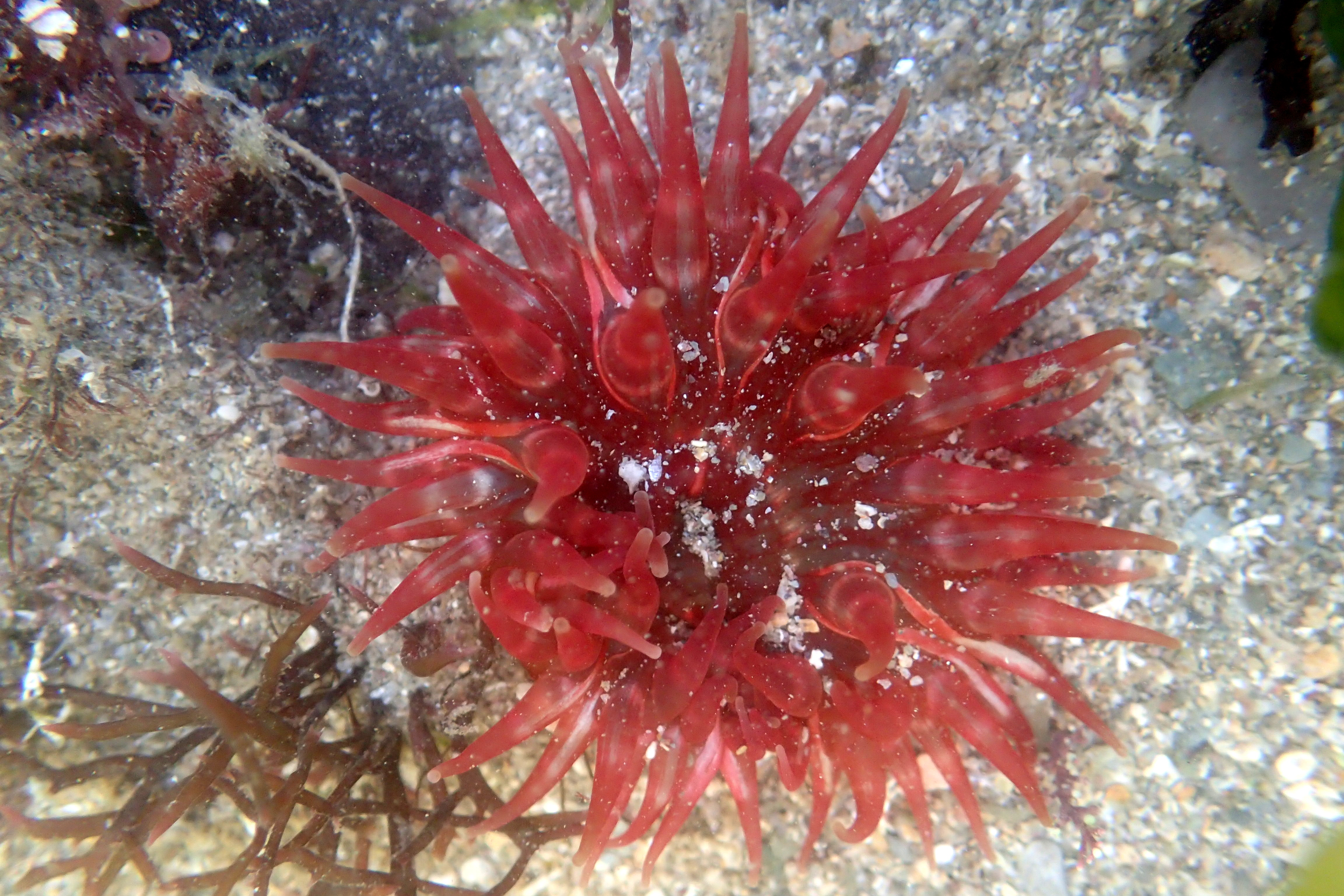 An especially red dahlia anemone buried in the sand.