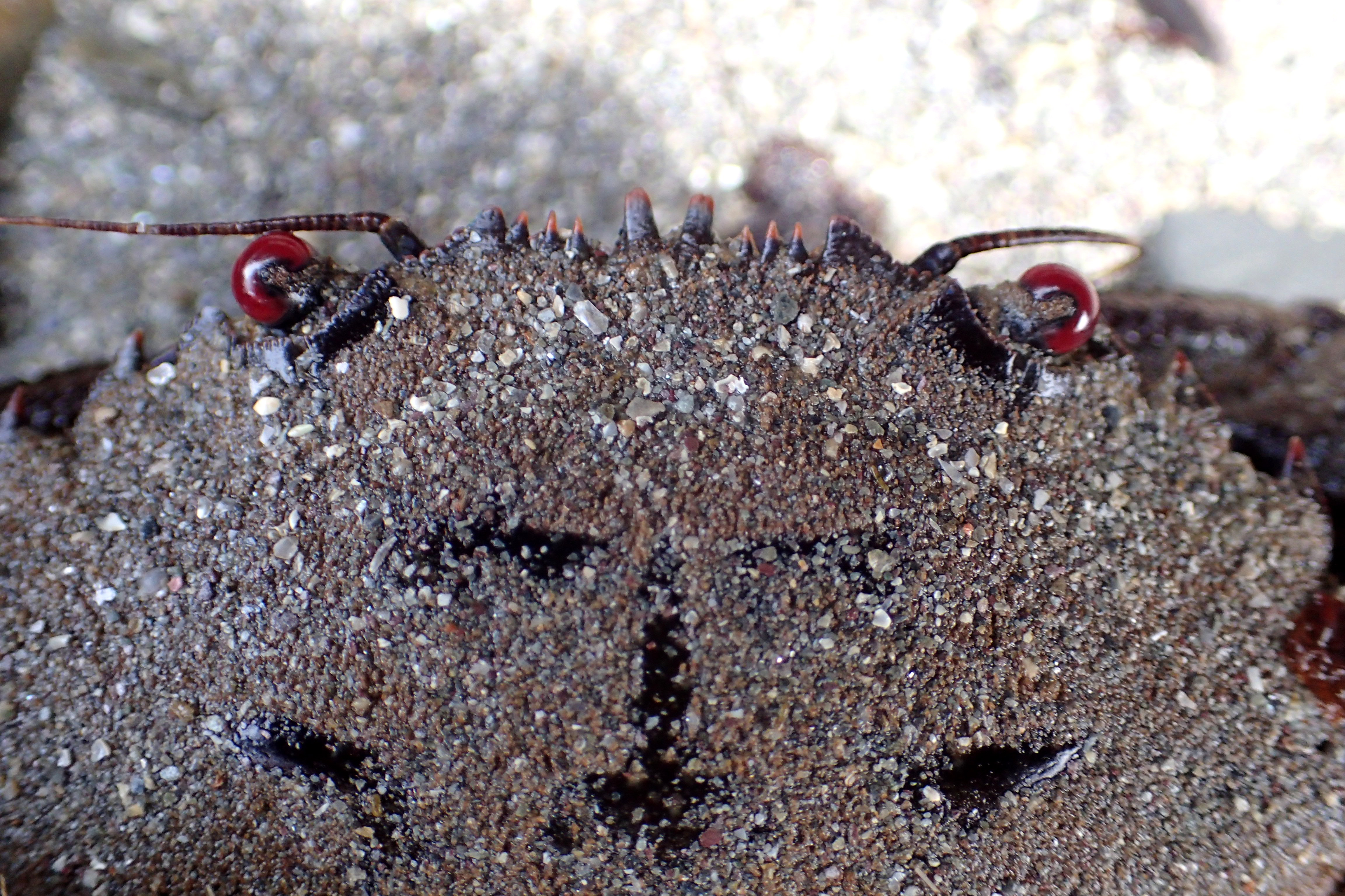 The unmistakeable red eyes of the velvet swimming crab.