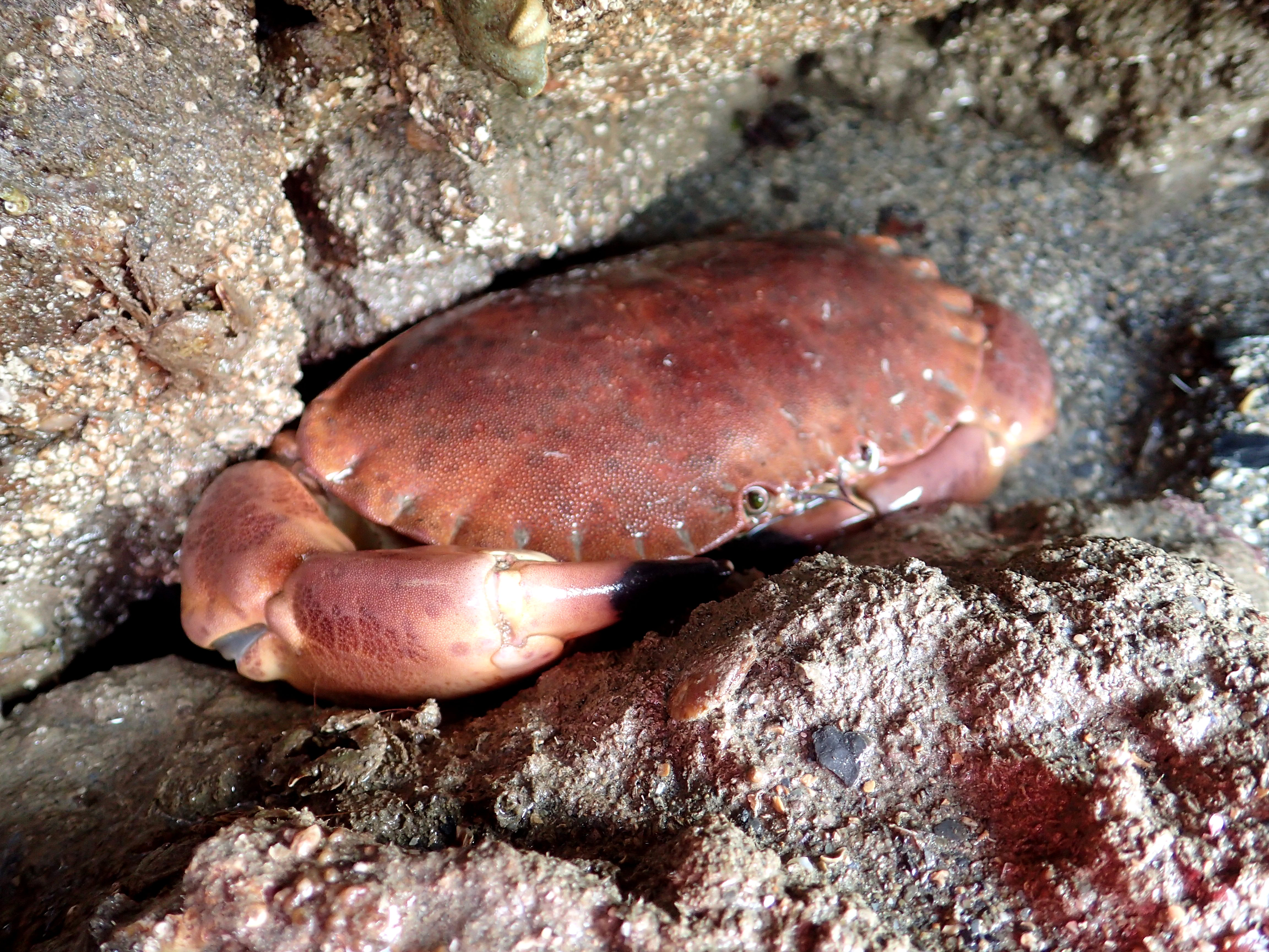 A large edible crab in a crevice.