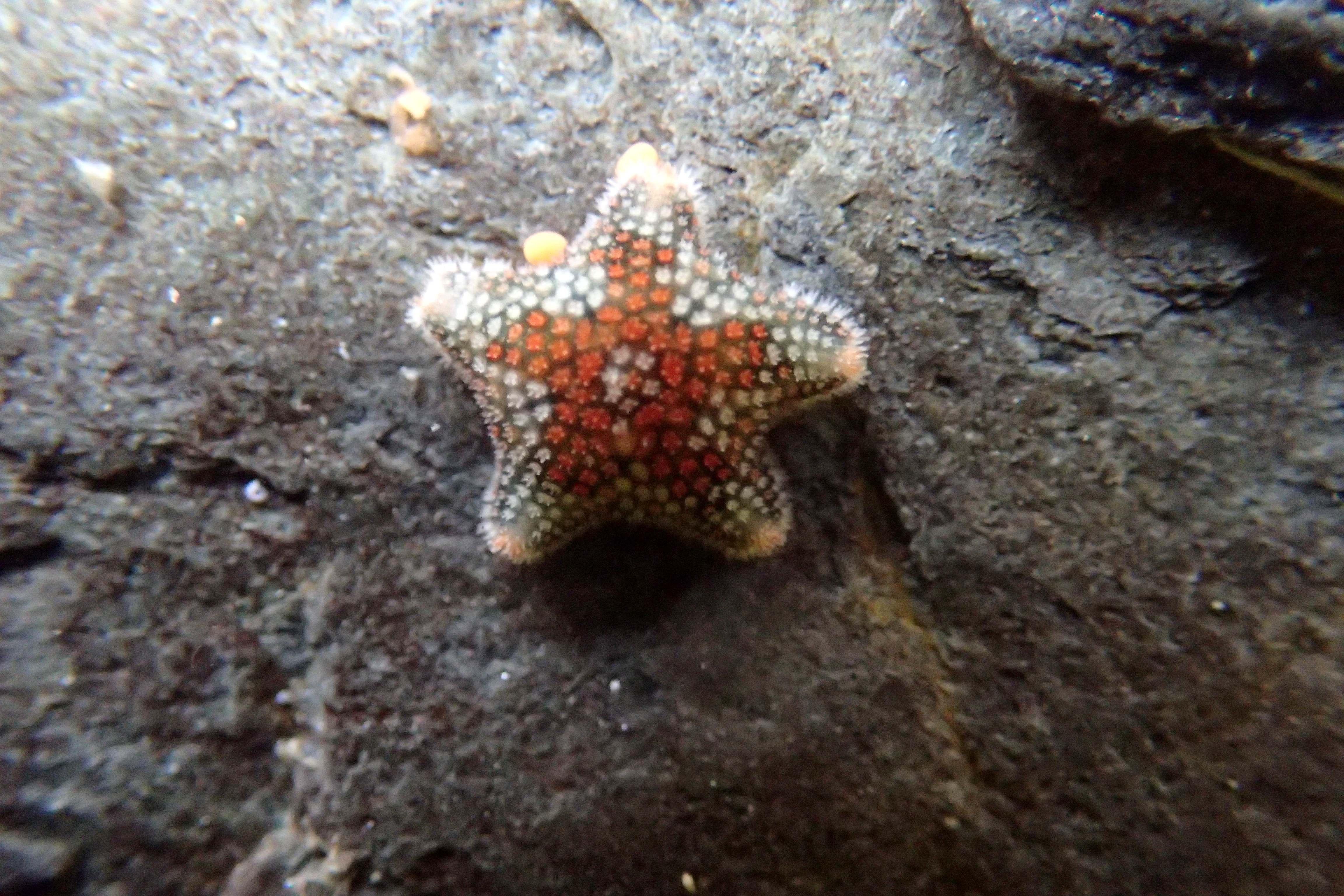 Asterina phylactica, East Looe rocks
