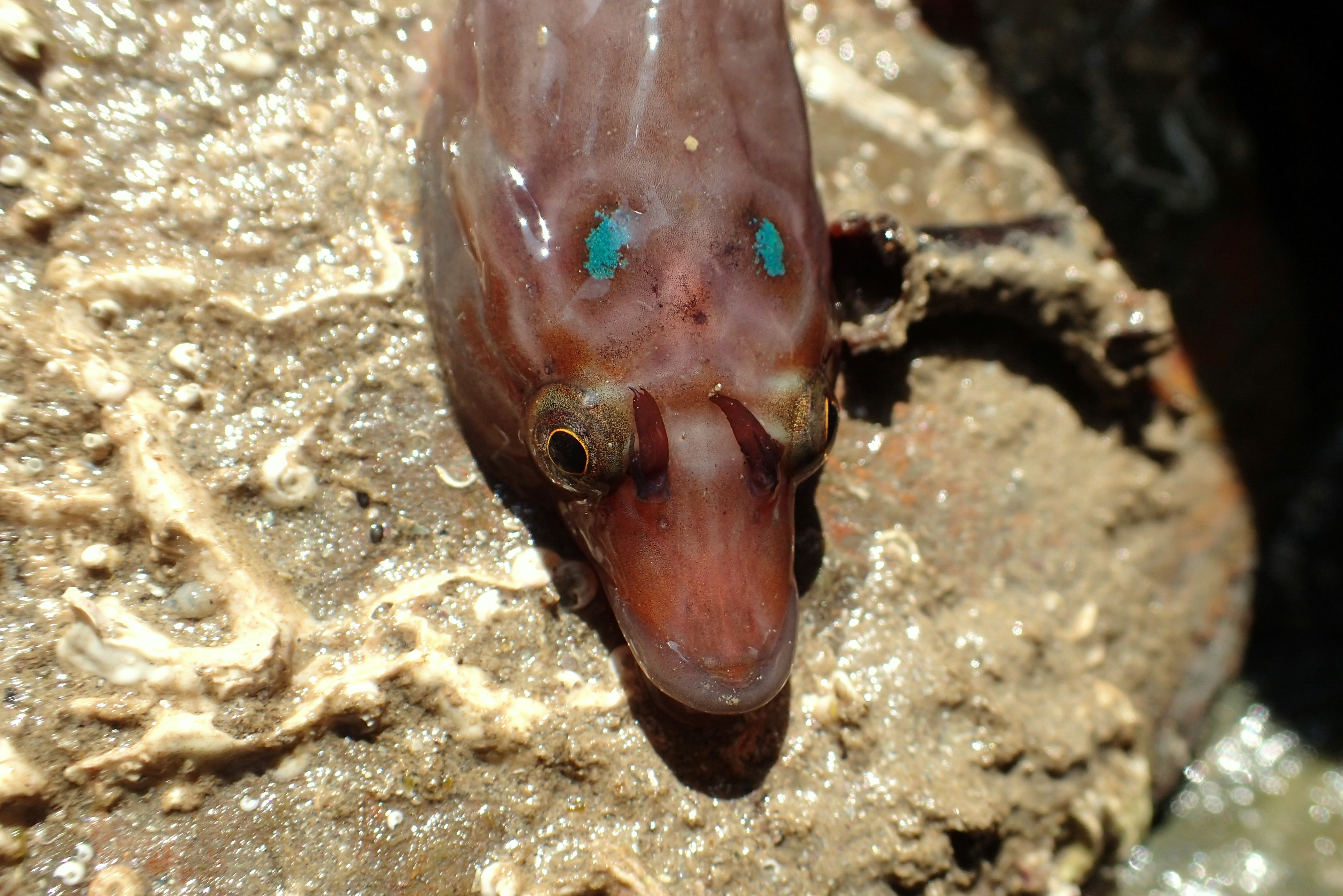 An adult Cornish clingfish showing the typical beaky nose, antenna by the eyes and blue patches on the head.