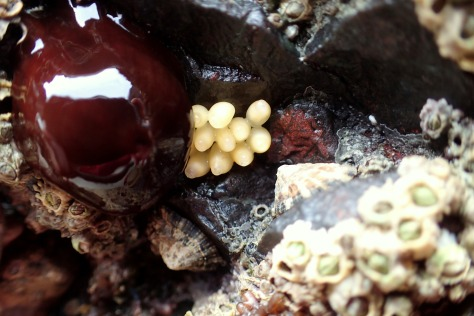 A beadlet anemone next to dog whelk eggs. Barnacles and limpets also cling on to this small overhang in the smooth serpentinite.