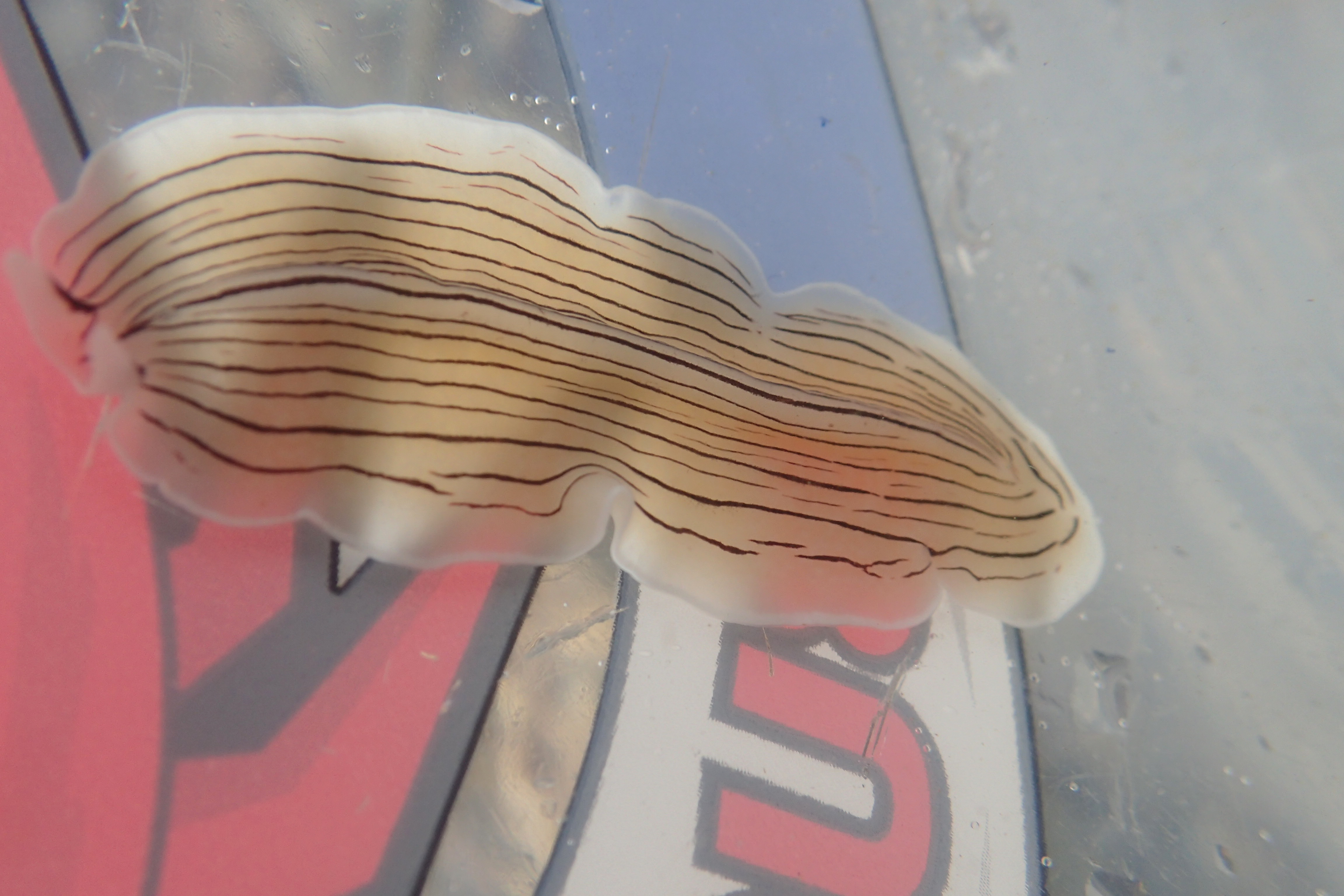 The candy stripe flatworm swims straight into my bucket.