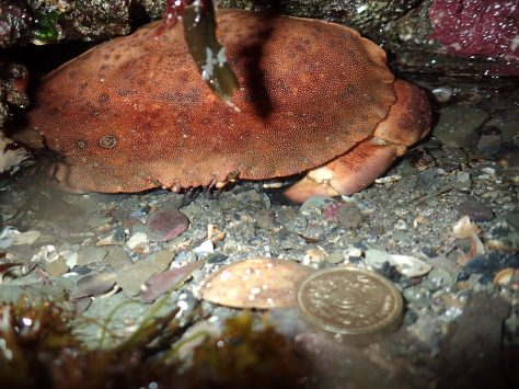 This large edible crab wasn't moving for anyone. The coin in the foreground gives an idea of the crab's size. I didn't dare put my fingers any closer.