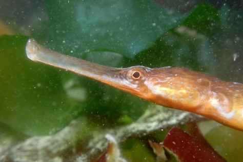 Greater pipefish - the closest Cornwall's rock pools have to a dragon!