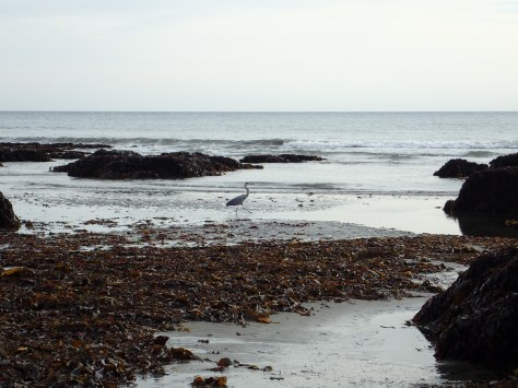 Grey herons like fishing in this quiet bay - Plaidy beach, East Looe
