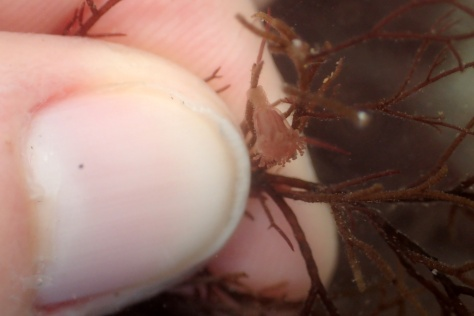 A tiny Haliclystus octoradiatus stalked jellyfish - you can see how small it is against my (unkempt) thumb nail!