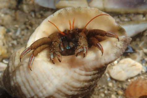 A St Piran's crab in a dog whelk shell. The common species in southern Brittany but a rarity in Cornwall. This one was taken in Concarneau,.