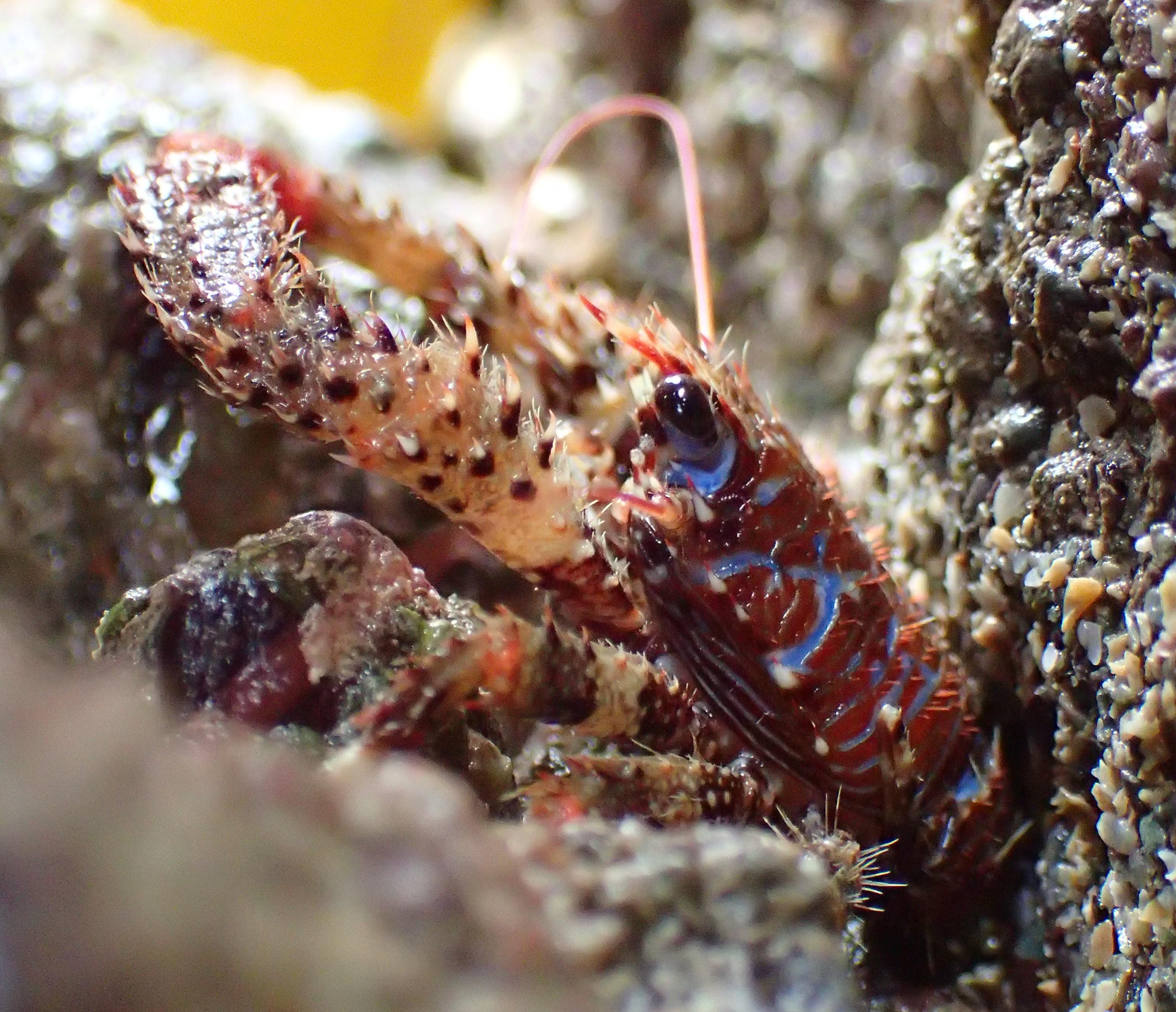 A colourful squat lobster - the Galathea strigosa