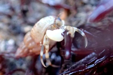 Anapagurus hyndmanni hermit crab
