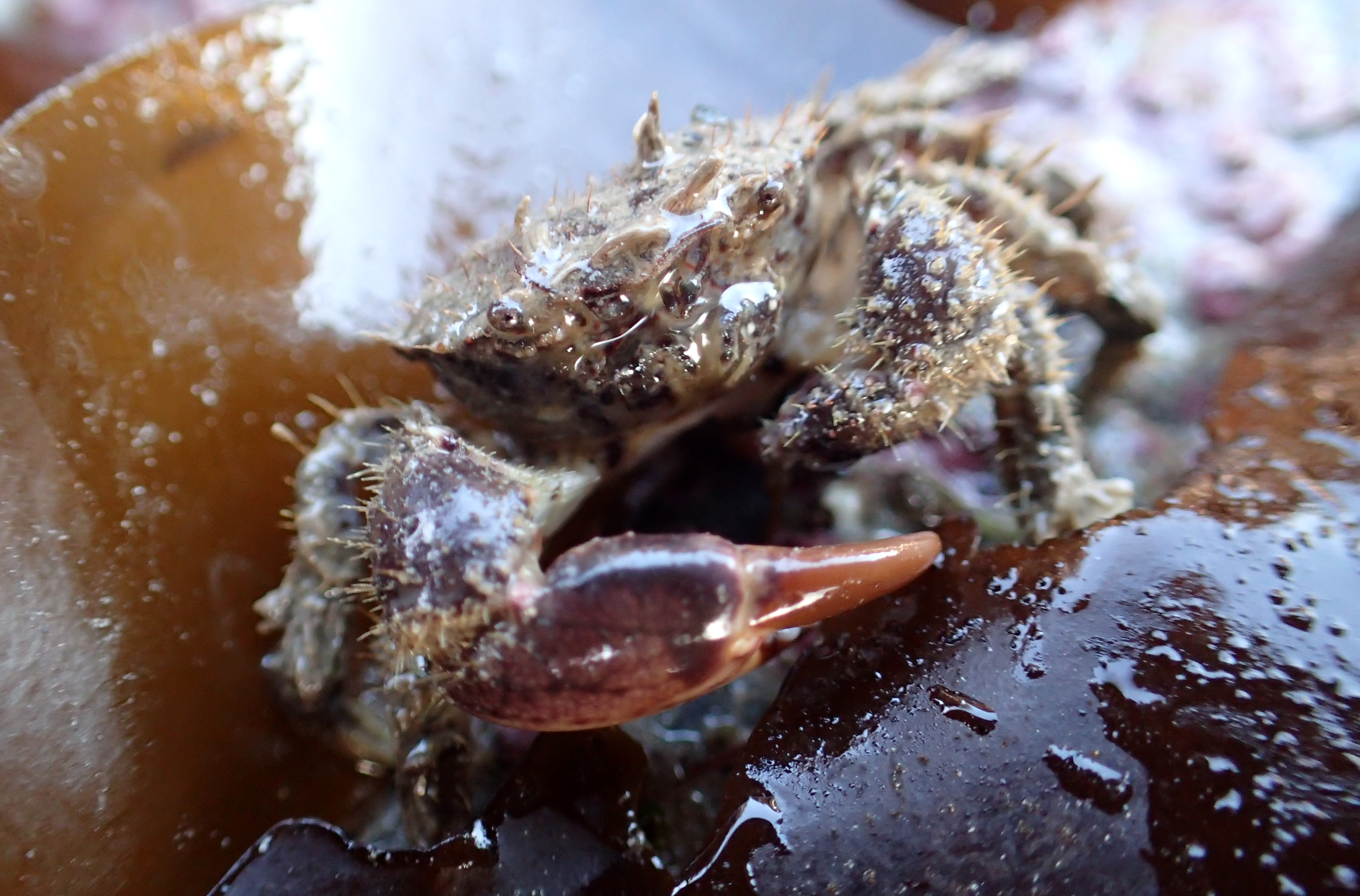Hairy crabs are covered all over in bristles and have one claw bigger than the other.