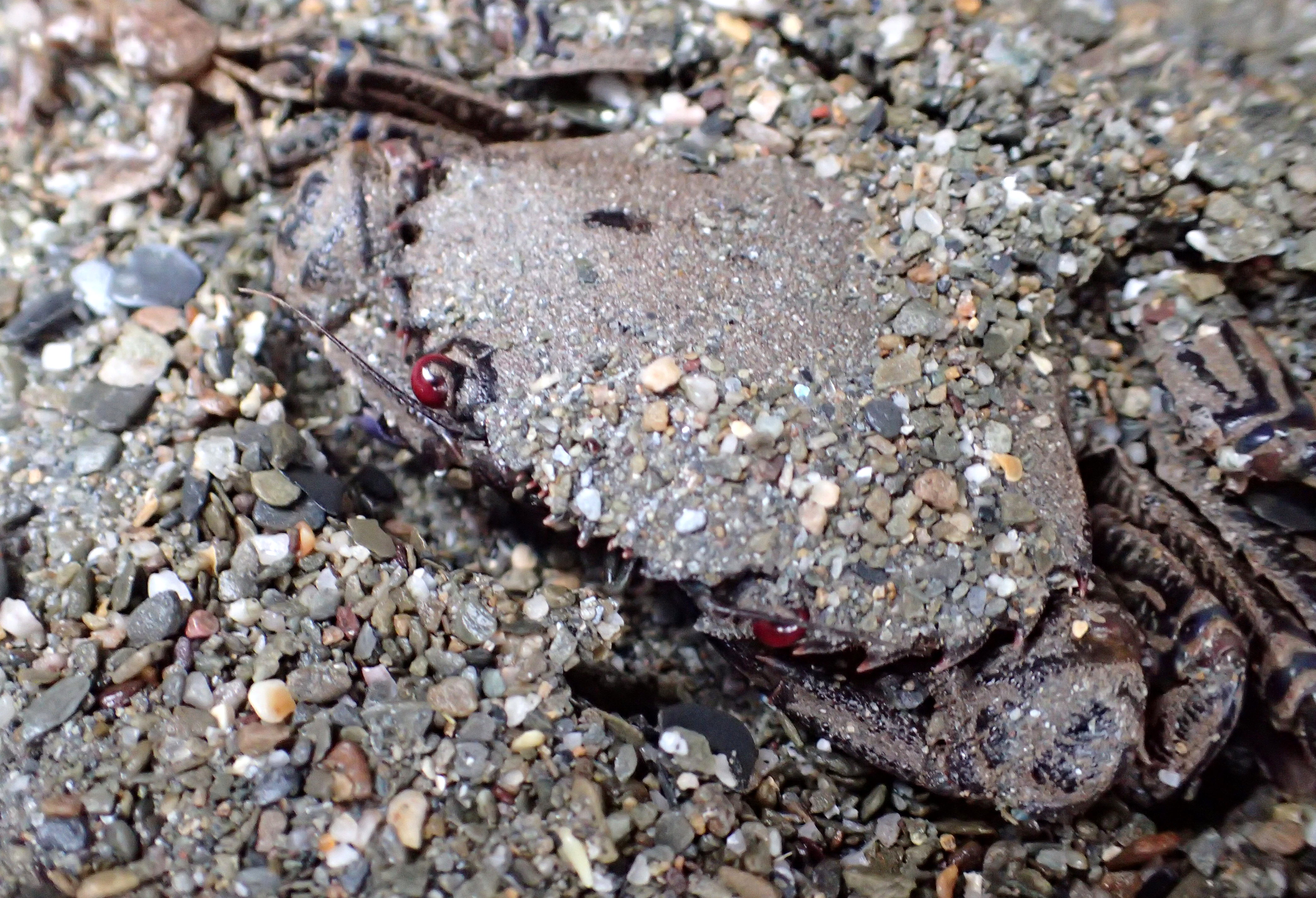 A velvet swimming crab part-buried in sand. It has red eyes, sharp teeth down the sides of its shell.