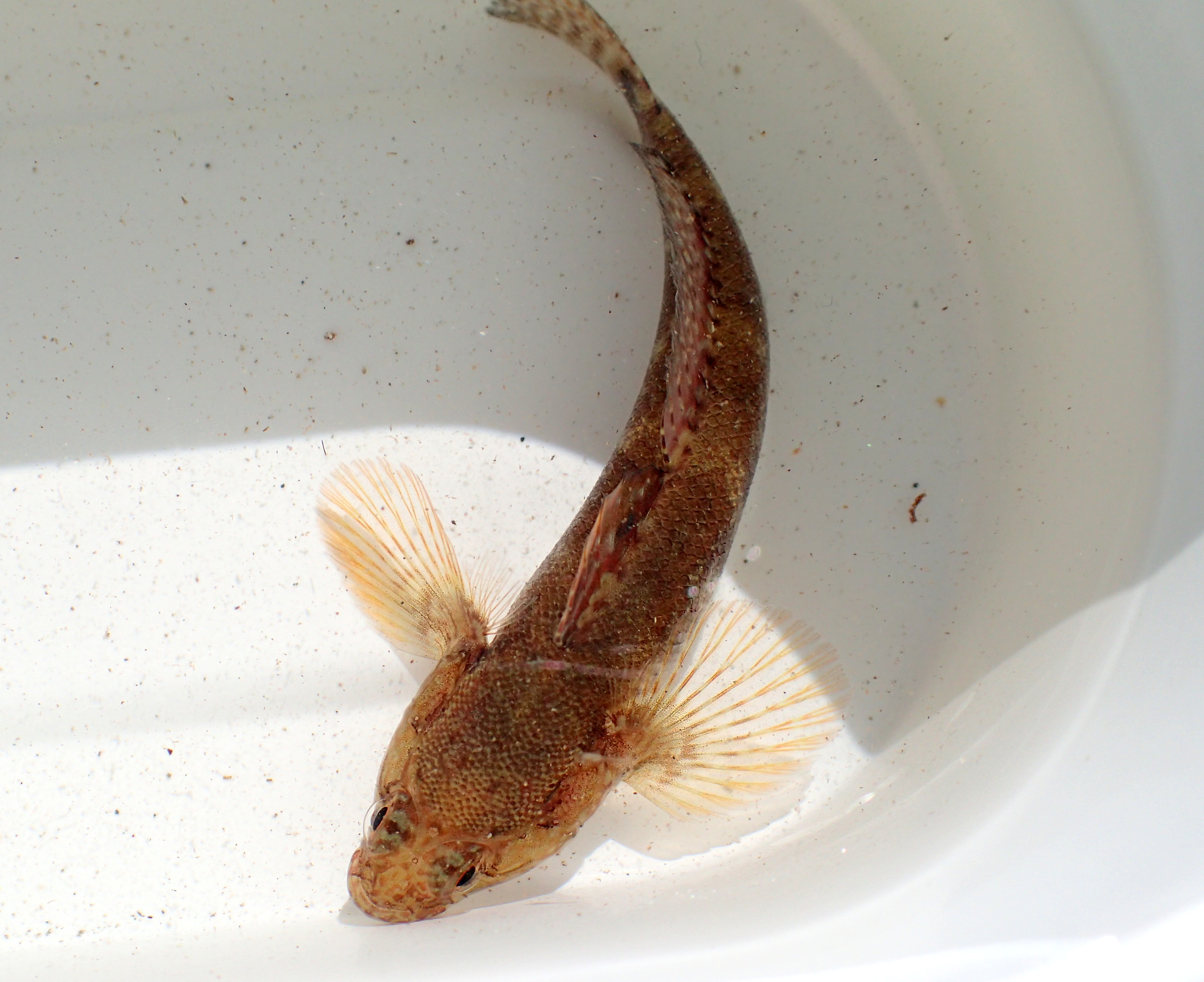 Rock gobies have two fins on their back. The first has a yellow tinge on the top.