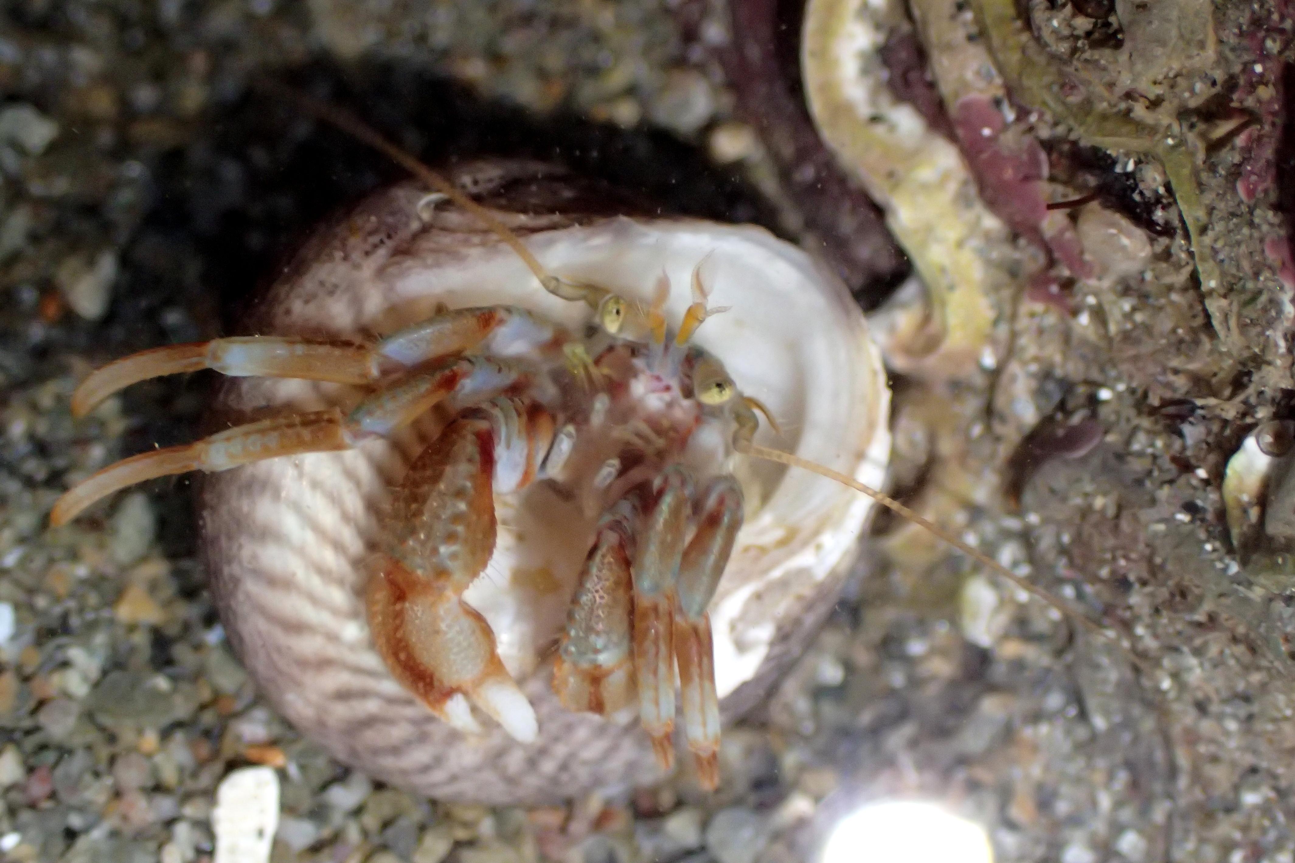 A common hermit crab: Pagurus bernhardus