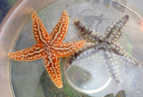 Common starfish (left) next to a Spiny starfish (right). The common starfish has smaller, less linear spines and tapering arms. It is usually this bright orange colour.