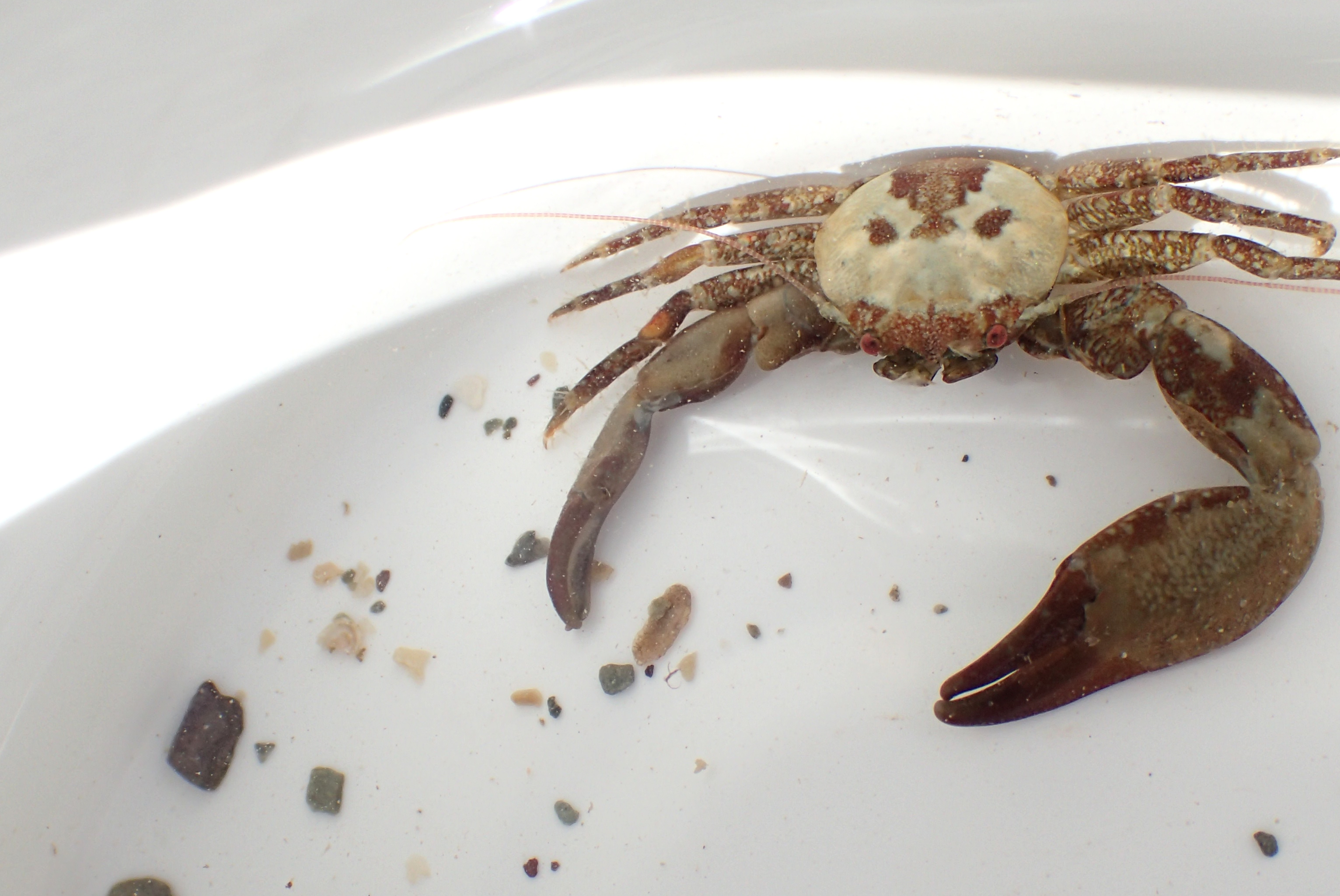 A long-clawed porcelain crab. These crabs are very small and cling to the bottom of rocks.