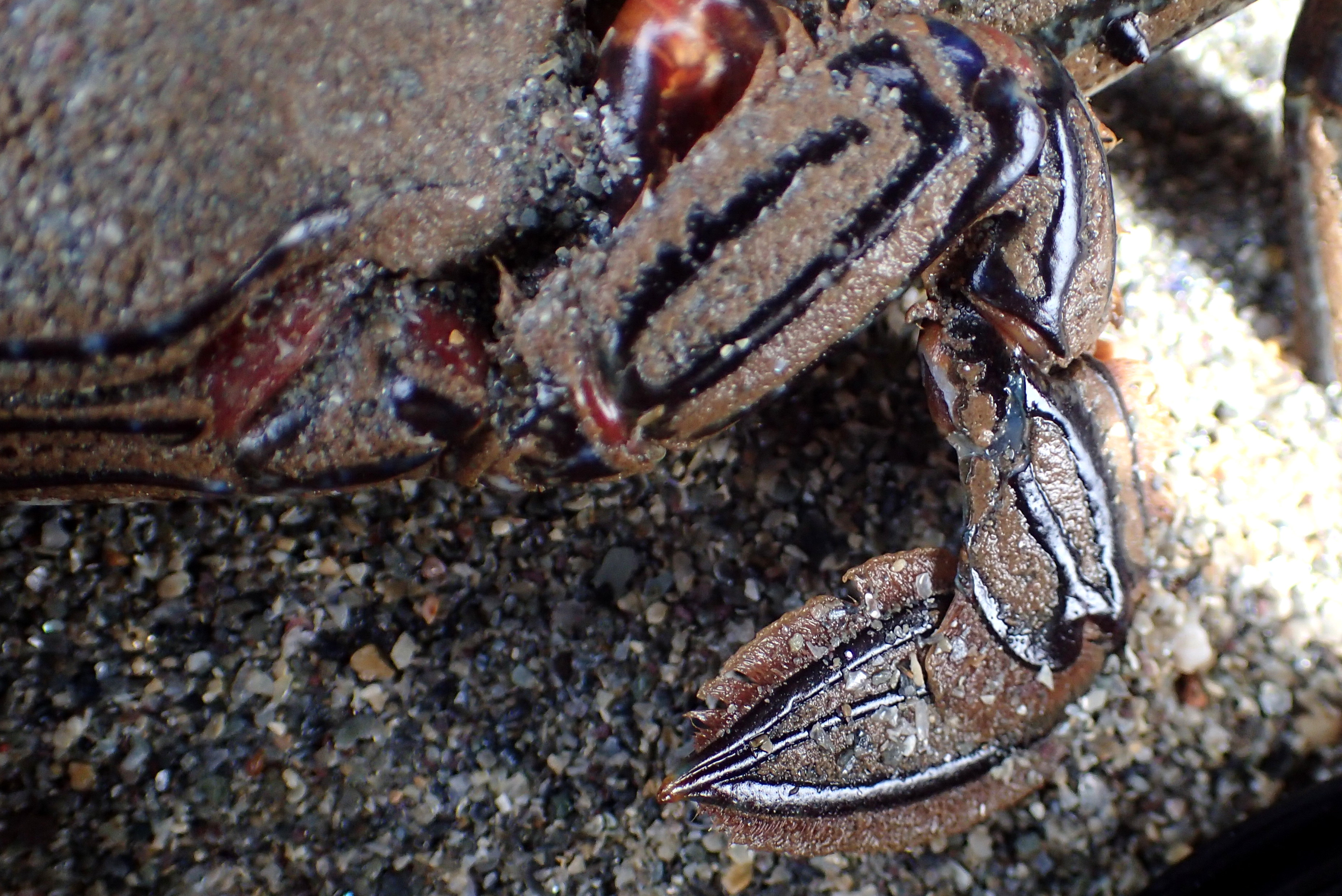The flattened back legs of the Velvet swimming crab make them fast and powerful swimmers.