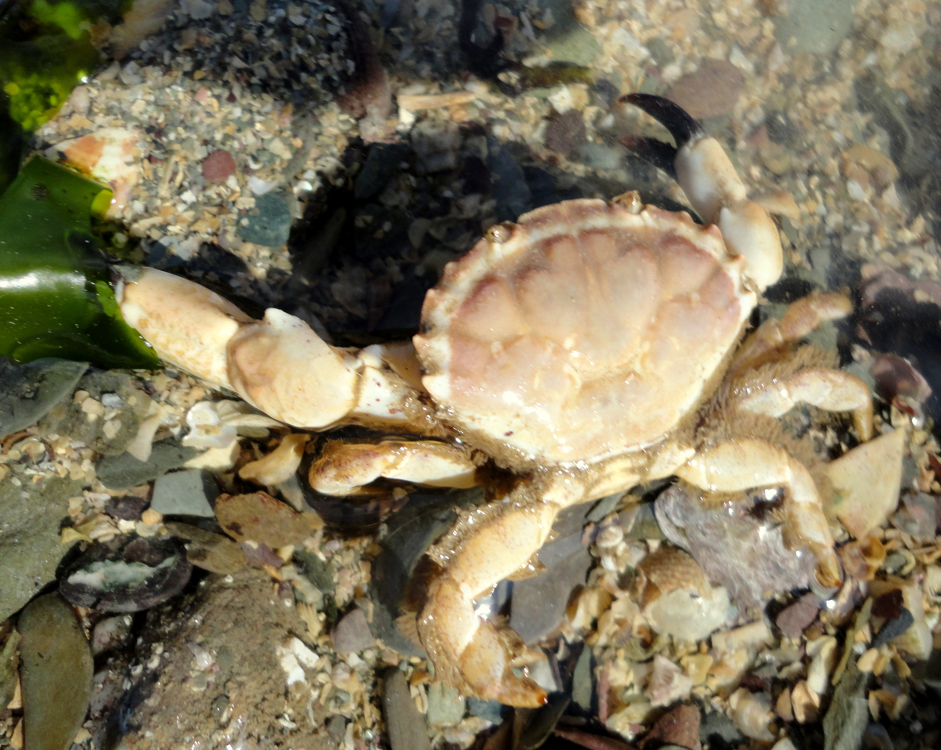 A Xantho pilipes crab - the notched sides to the shell and the hairy back legs identify this crab.