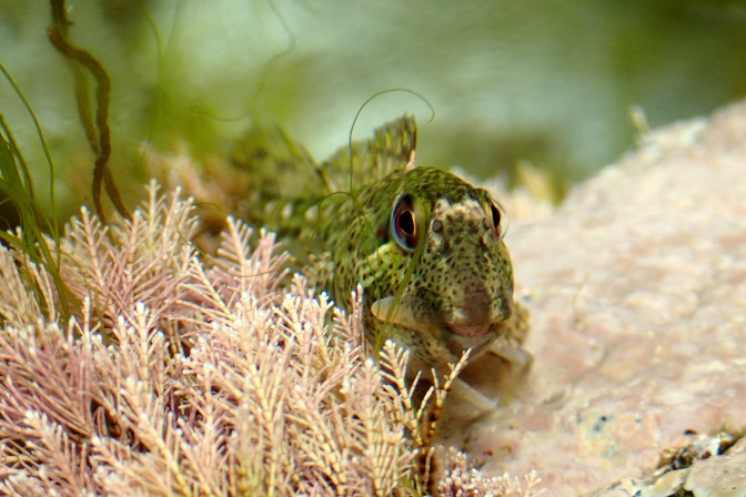 A shanny (Common blenny) gives a toothy grin in a Cornish Rockpool (Kynance Cove)