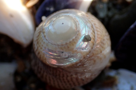 A Grey topshell worn down to the mother-of-pearl layer