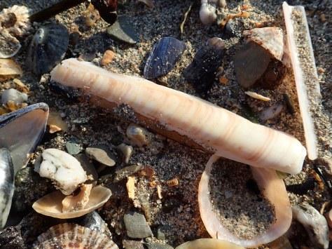 Razor shells burrow in the muddy sand near Looe beach.