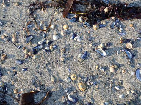 Shells on Looe beach