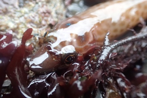 And another Cornish clingfish...