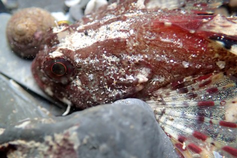A Scorpion fish at Porth Mear