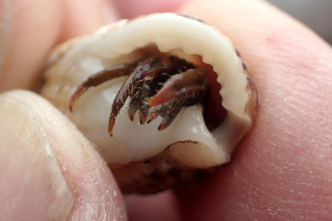 When I see the red legs and equal-sized claws I know - a St Piran's hermit crab at Porth Mear