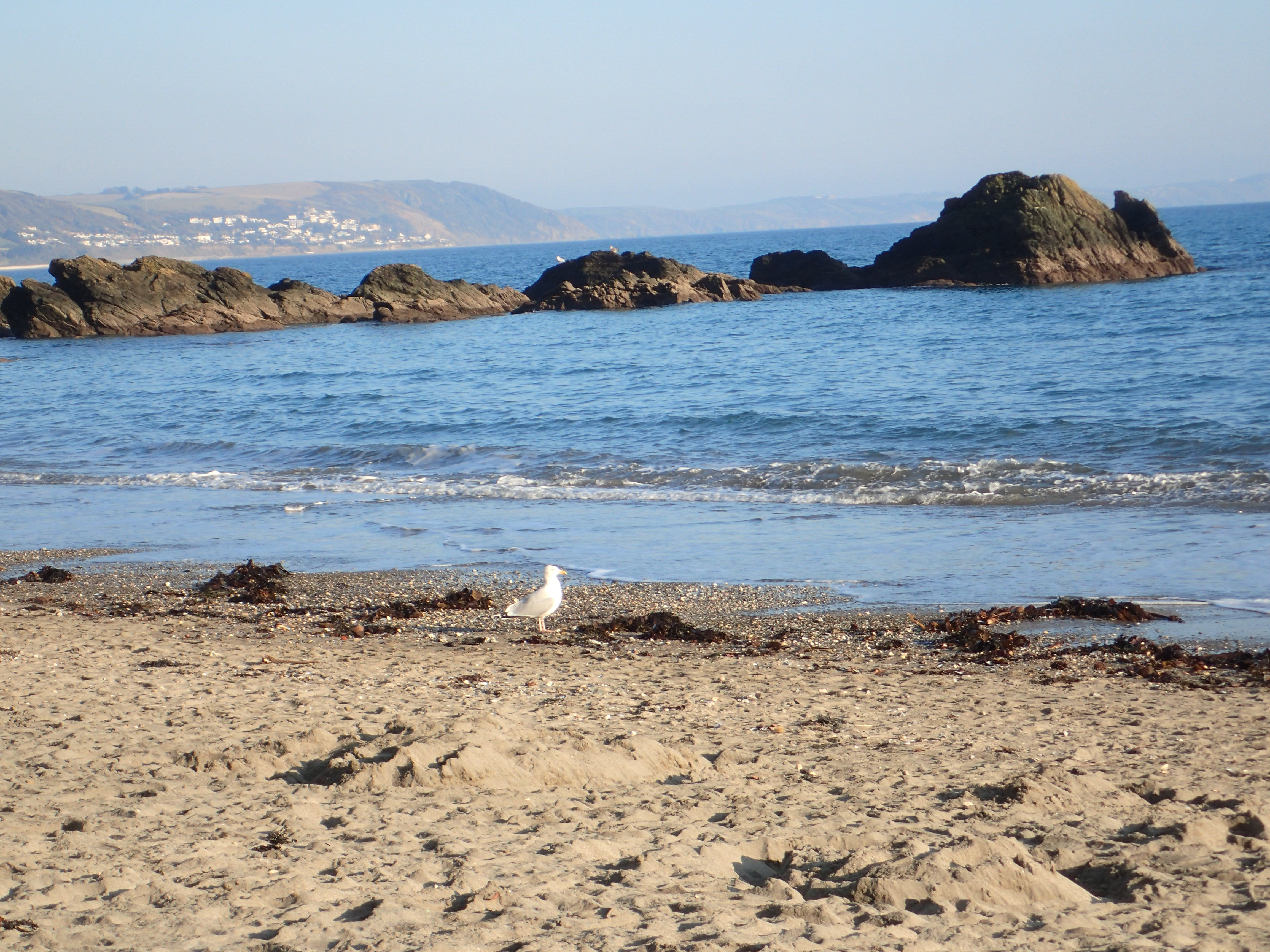 Looe Beach - a herring gull is also checking out the pile of shells at the water's edge