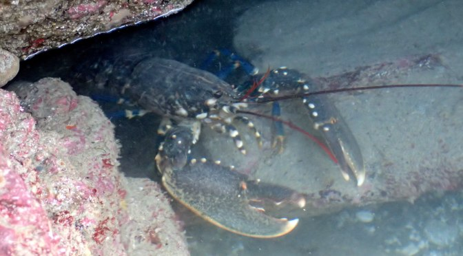 Bob the lobster emerging from his cave in a Cornish rock pool to examine me and my wellies.