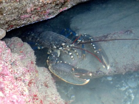 Bob the lobster in the rock pool, Cornwall