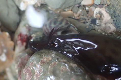 A Cornish clingfish uses its sucker to grip the rock
